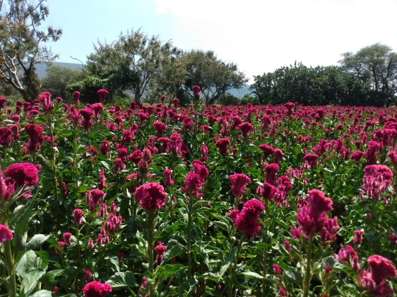 Comercializan flor de terciopelo productores de Huaquechula
