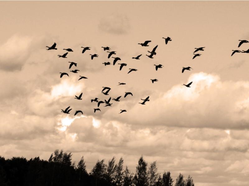 Comienza la migración de aves entre Canadá- Estados Unidos- México