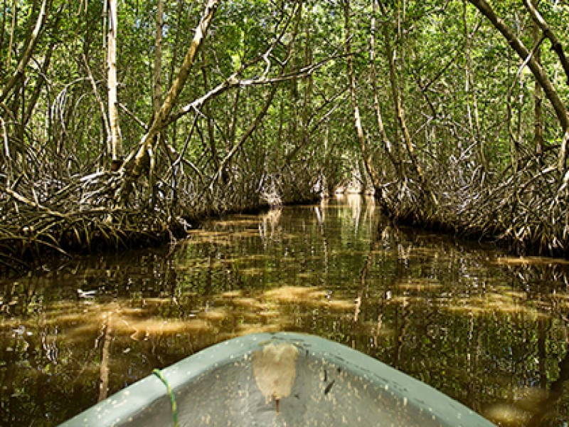 Comienza rehabilitación de manglares en La Encrucijada