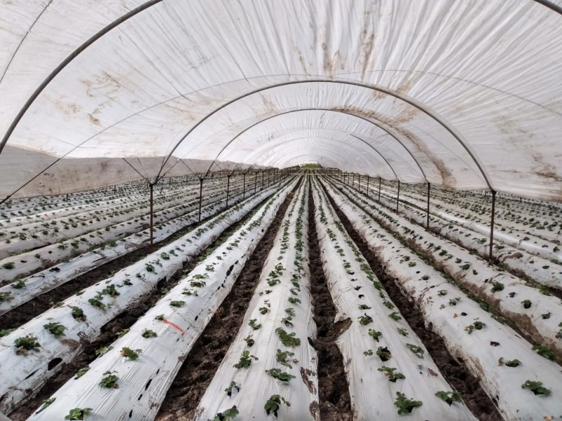 Con disminución de superficie de cultivo inicia temporal de fresa