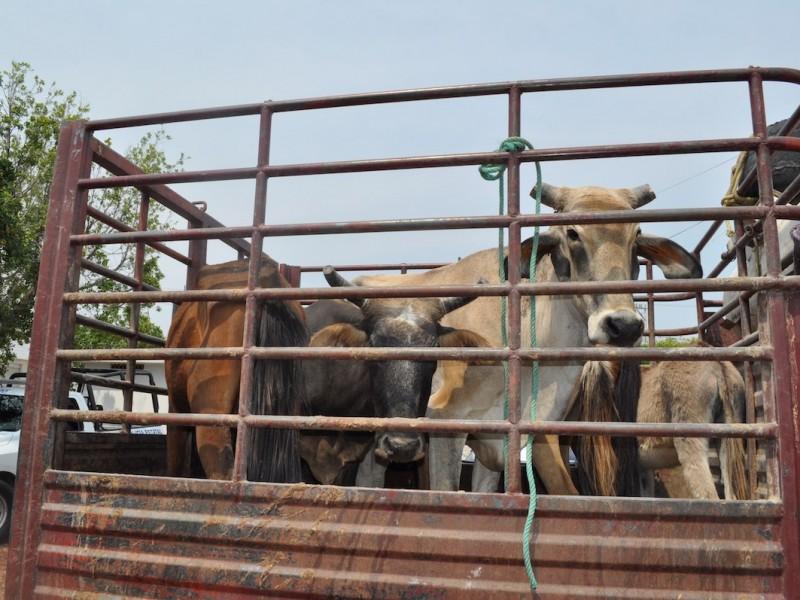 Continúa el robo de ganado