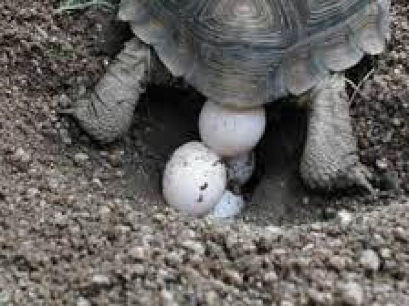 Continúa saqueo de huevos de tortuga en las costas chiapanecas