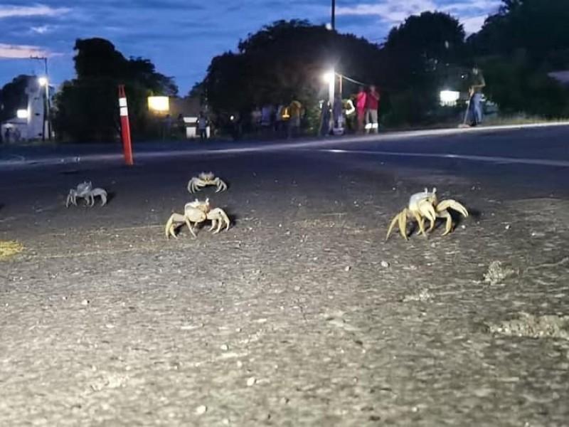 Continúan los trabajos de protección del Cangrejo Azul en Tuxpan
