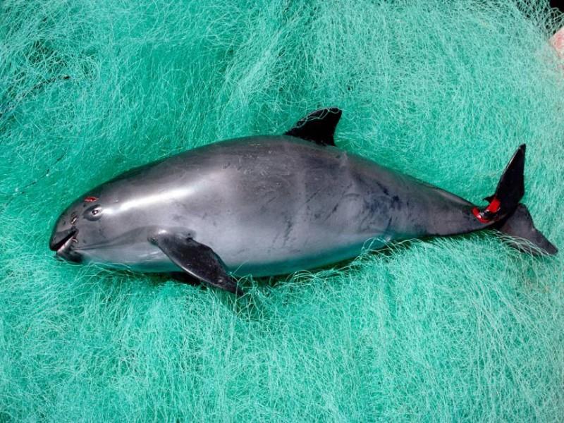 Corrupción y negligencia matan a la vaquita marina