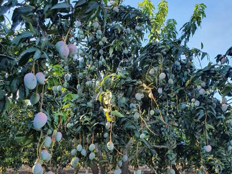 Cosecha de mango cerrará con resultados positivos