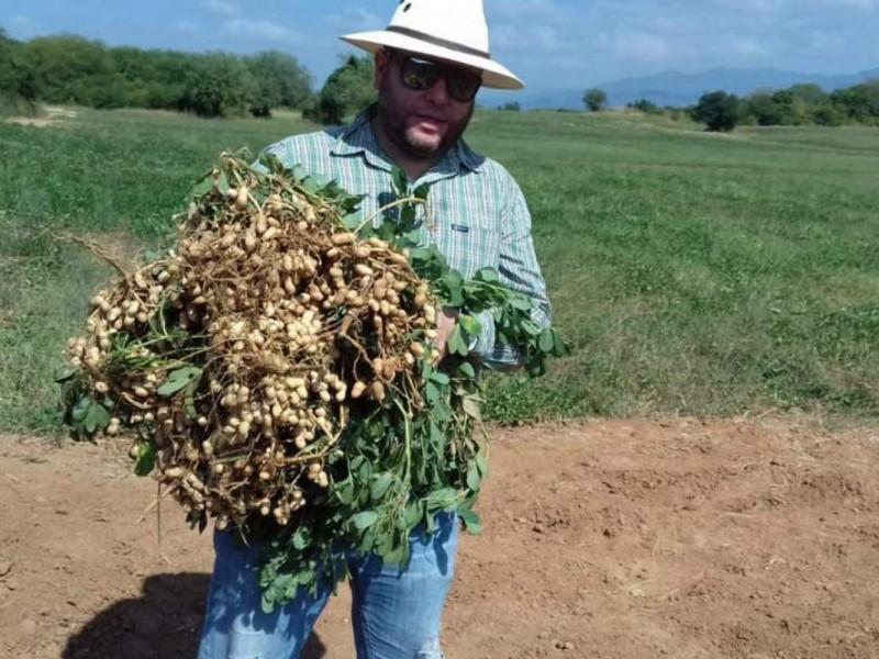 Cosechan 5 mil toneladas de cacahuate en Acaponeta