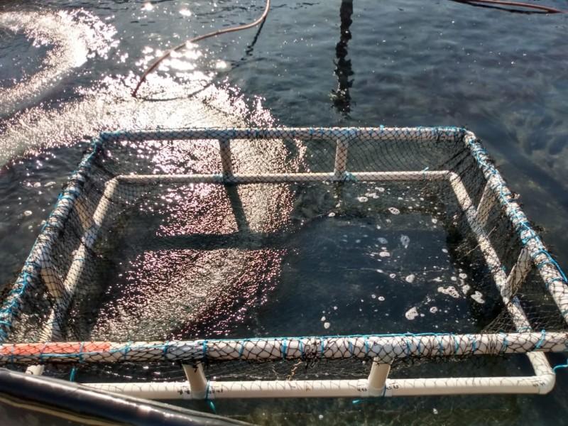 Cosechan más de 7 mil mojarras en estanques de Juchitán