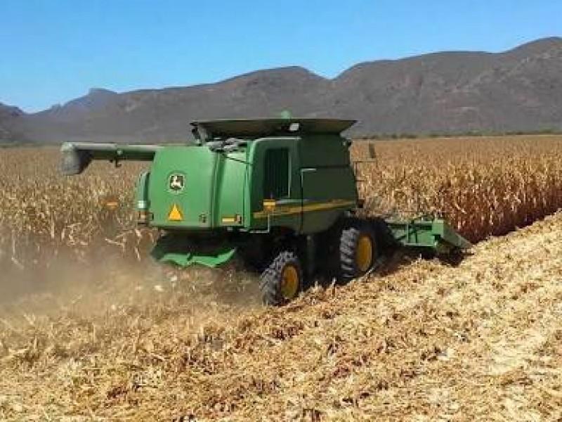 Cosechas de maíz presentan avance del 85%