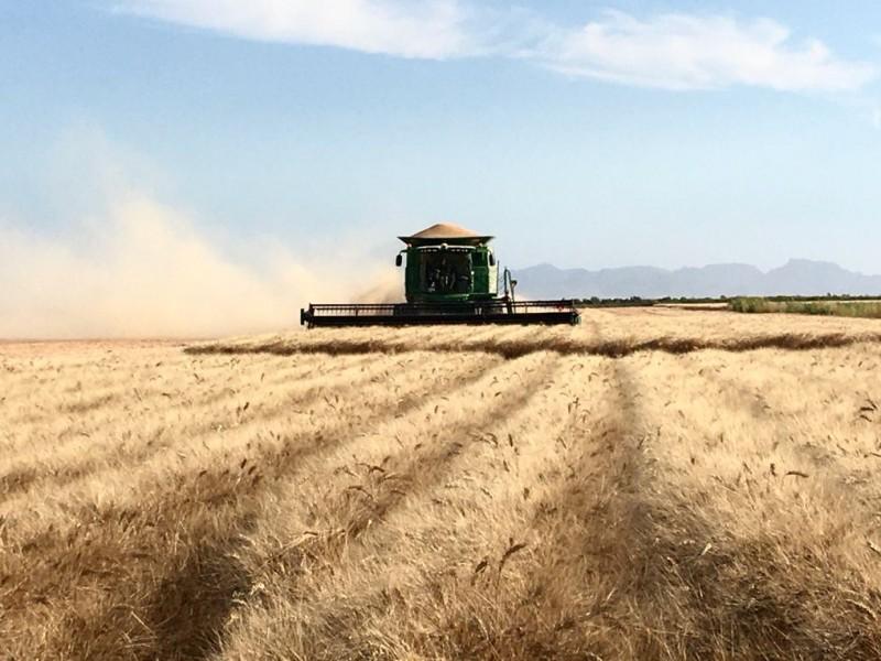Cosechas de trigo, una esperanza para productores de la región