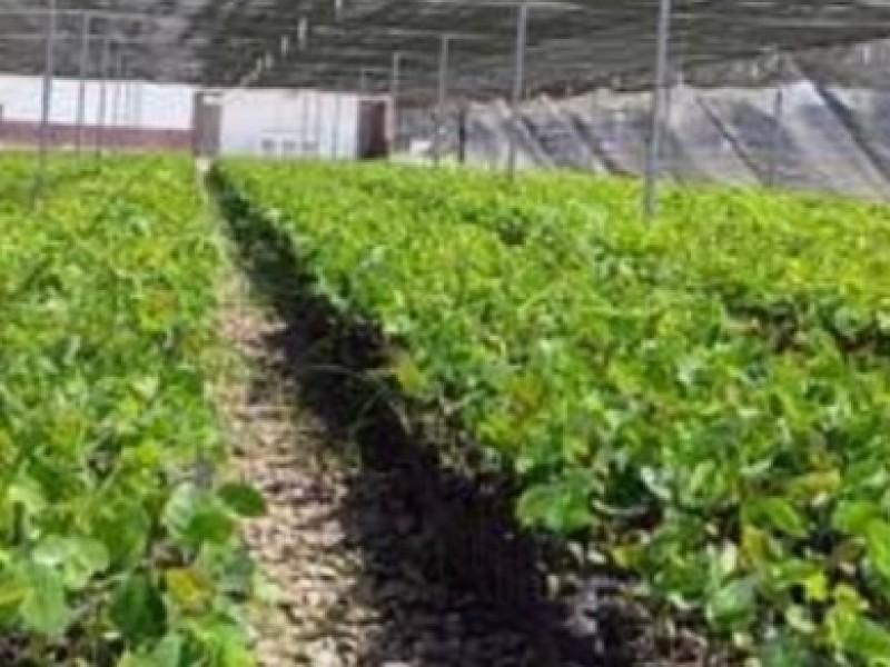Crece contratación de migrantes para programa federal sembrando  vida