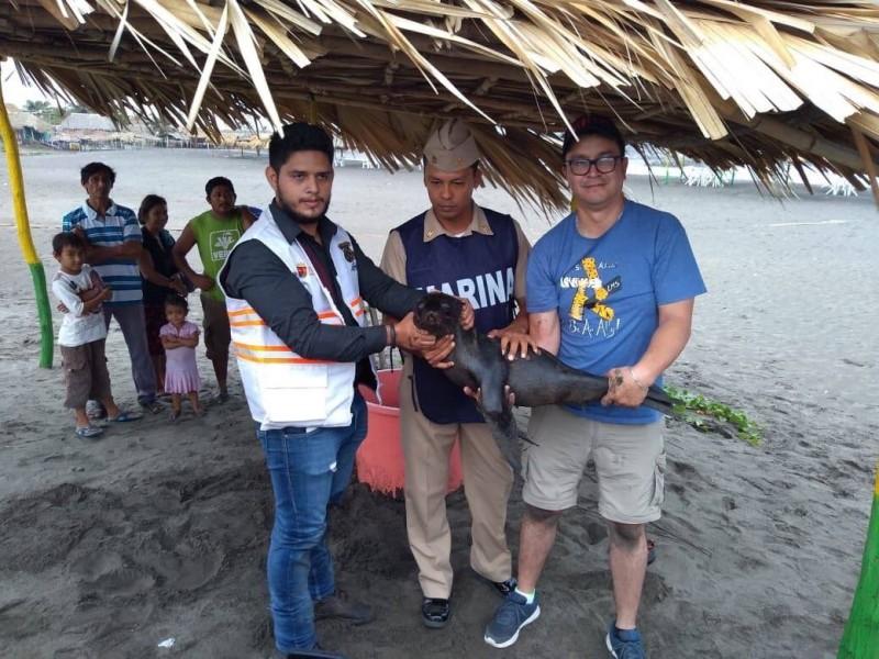 Cría de foca aparece en playas de Chiapas
