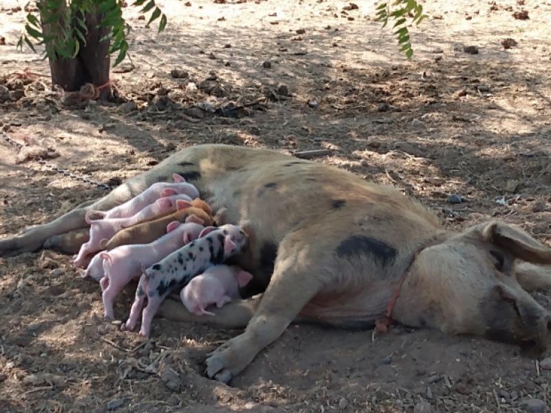 Crianza de animales para venta, noble actividad que palidece