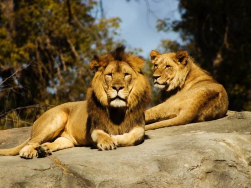 Cuatro leones del zoológico de Barcelona se infectan de COVID-19