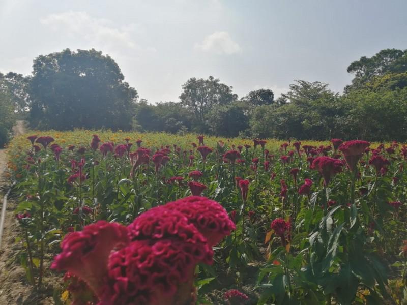 Cultivar Cempasúchil y Flor de Seda, tradición que no muere