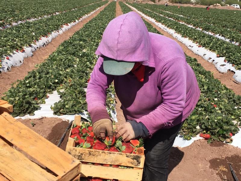 Cultivos de fresa,emplea a cientos de mujeres en la región