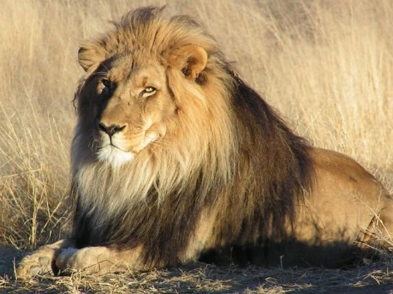 Dan positivo a Covid-19 ocho leones en zoológico de India