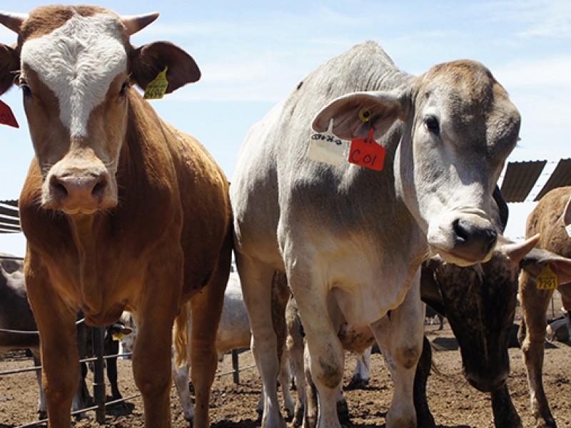 Debido a la sequía, Sonora incrementa su exportación de ganado