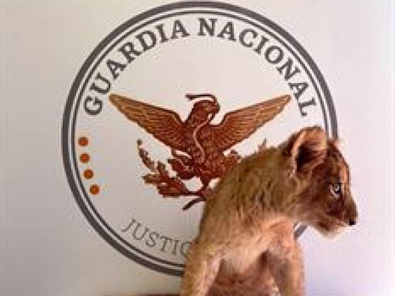 Decomisan en Aeropuerto de Ciudad Juárez, una cachorra de León