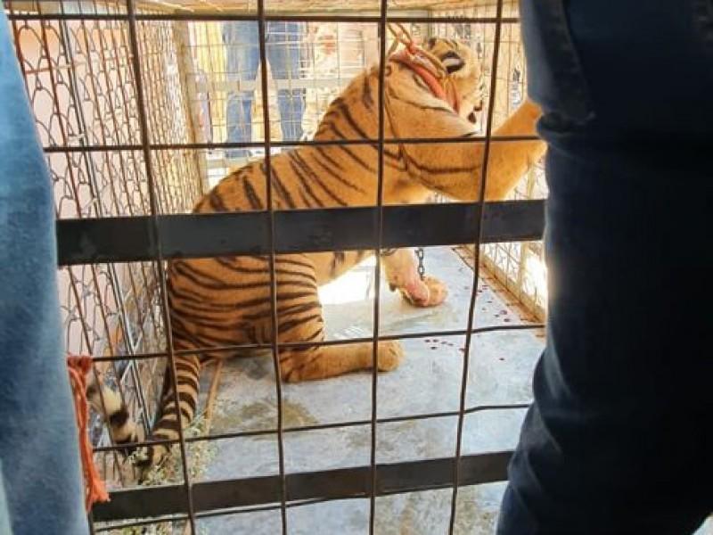 Decomisan un tigre de Bengala en Puerto Libertad Sonora