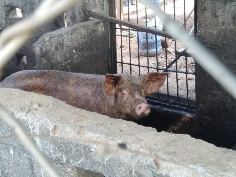 Denuncian criadero de animales irregular en colonia de Tehuantepec