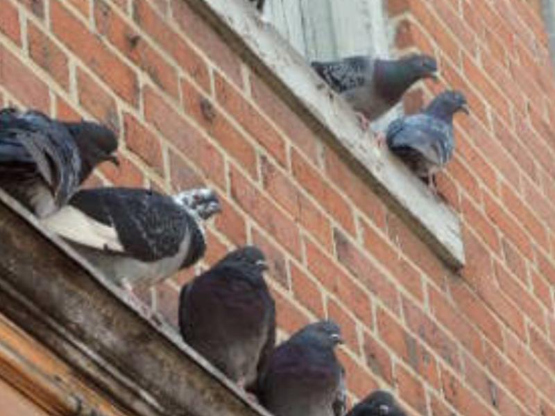 Desechos de palomas dañan edificios y puentes
