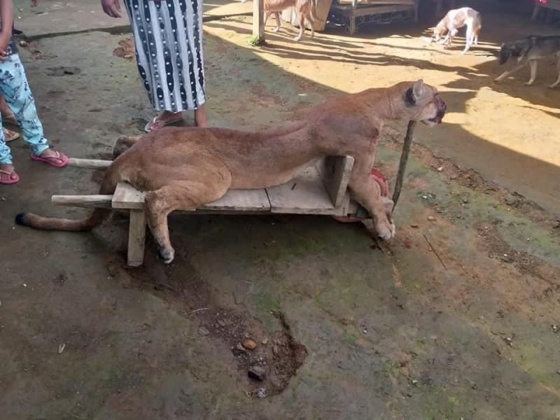 Desollan a Puma en Cacahoatán