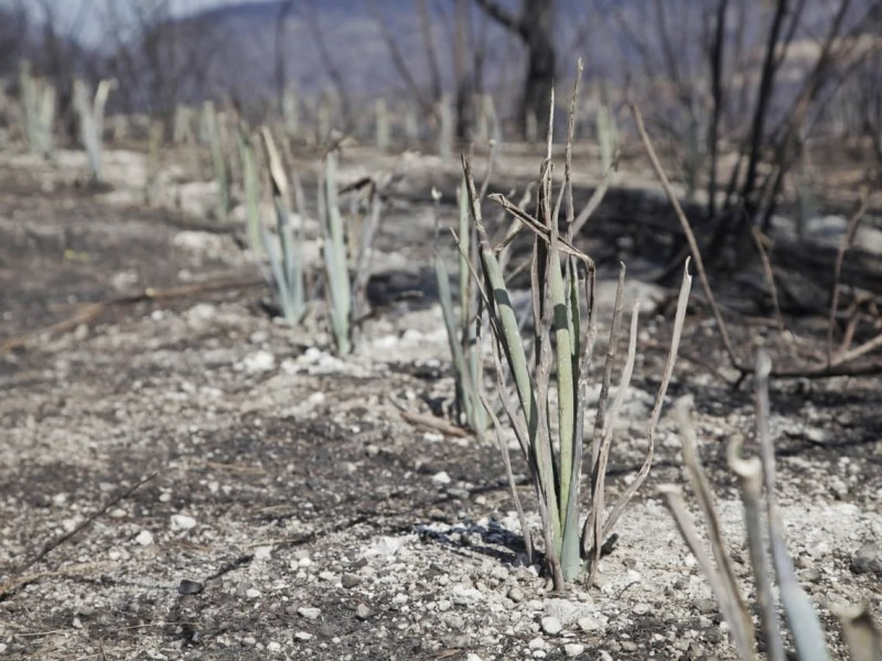 Detectan plantío de agave en predio incendiado de La Primavera