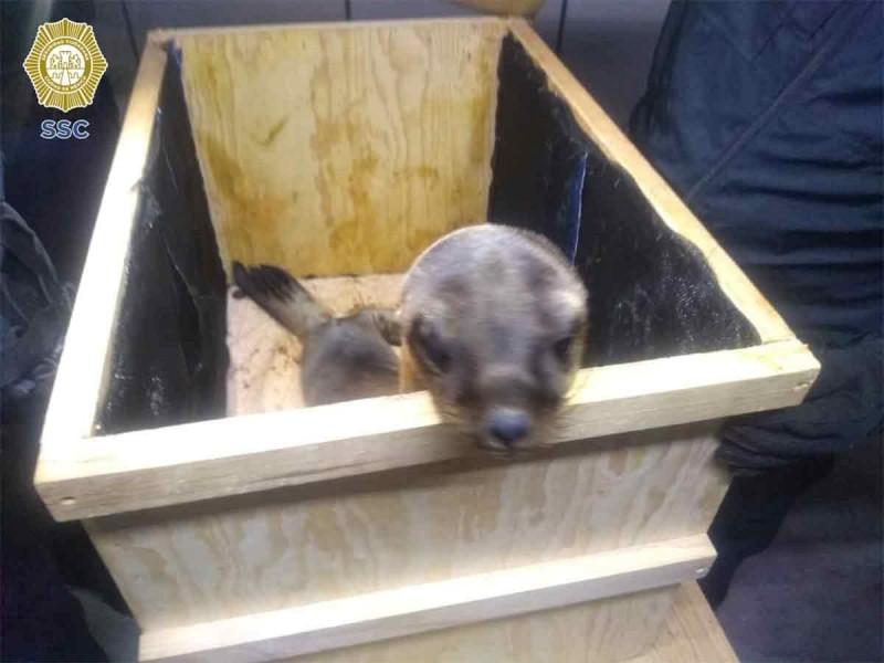 Detenidos traían dos lobos marinos en cajas