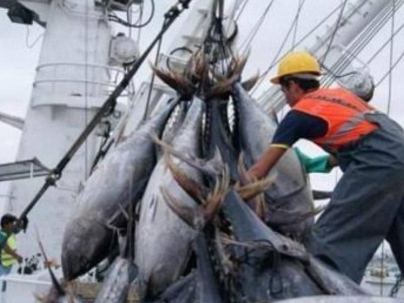 Disminuye captura de atún; atribuyen al cambio climático