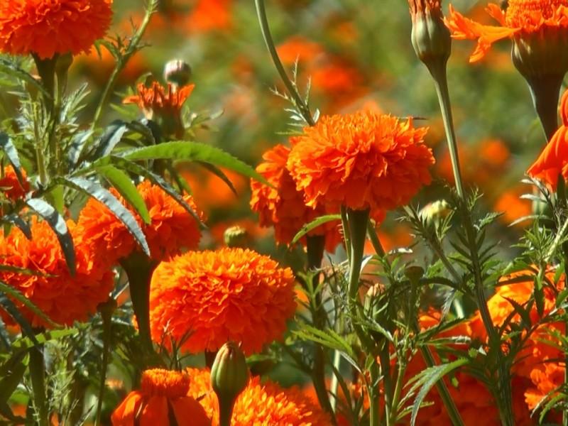 Disminuye la producción de Flor de Cempasúchil