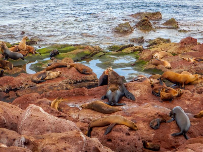 Disminuye población de lobos marinos por aumento de temperaturas