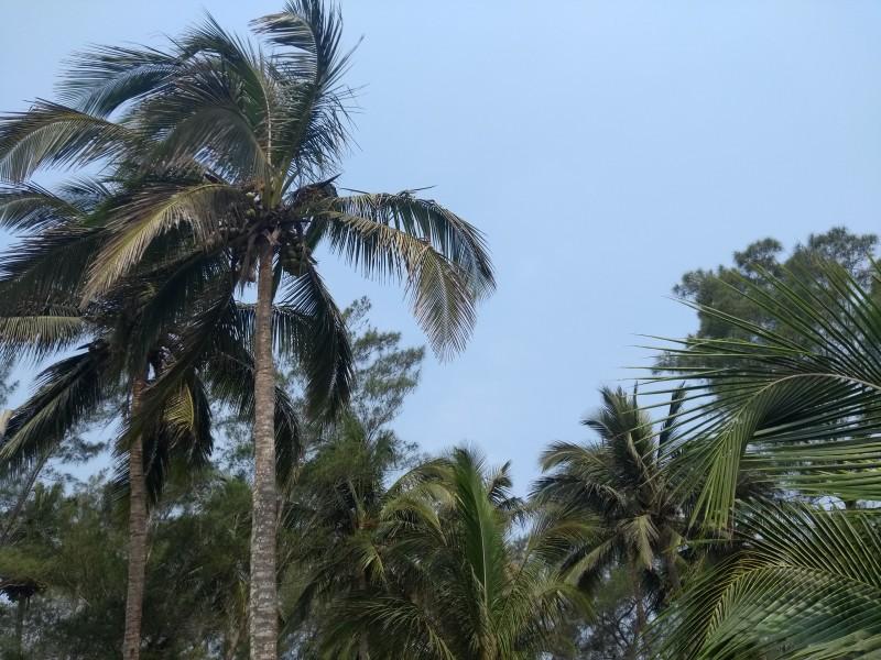 Disminuye producción de coco en zona norte