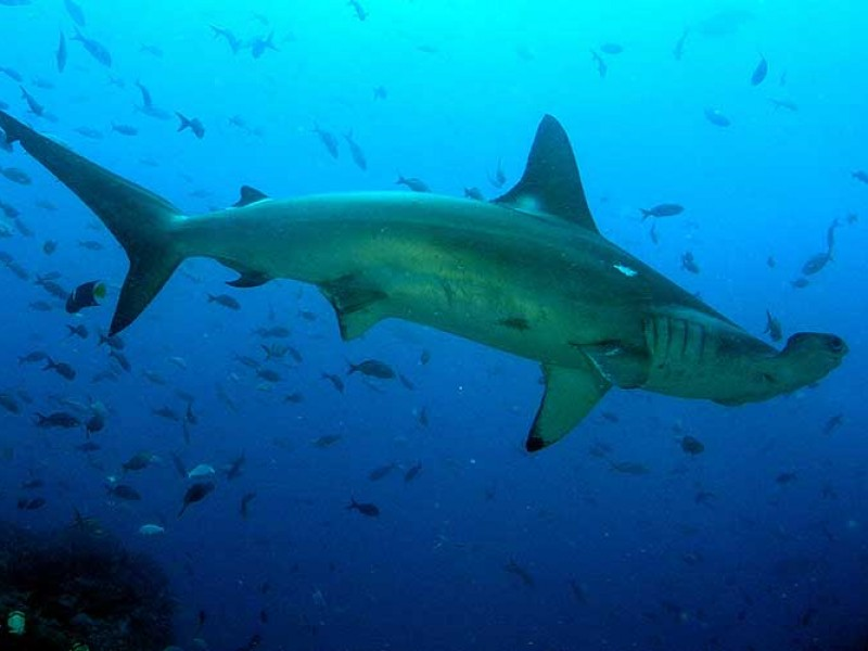 Disminuye tiburón martillo por pesca furtiva