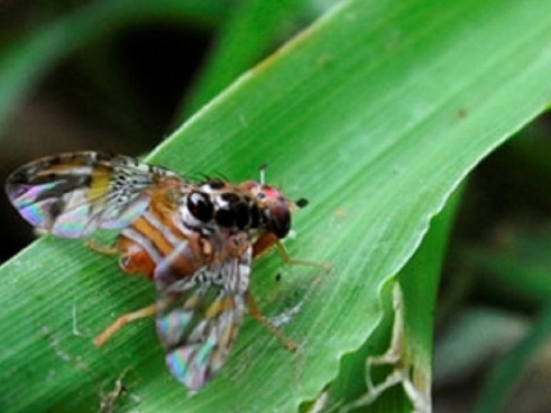 Efectivo combate contra la mosca del mediterráneo