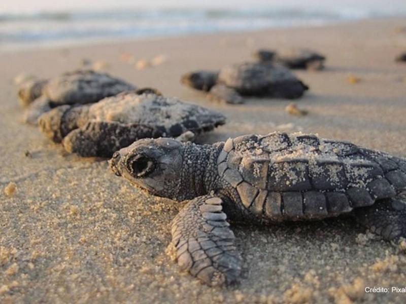 El 2020 fue un éxito en desoves de tortugas marinas