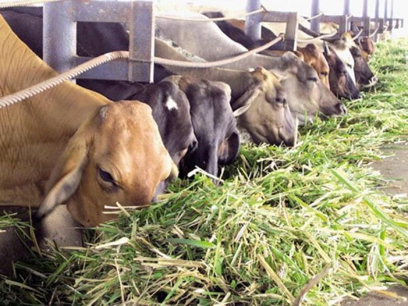 El sector ganadero en SLRC afectado por Covid-19