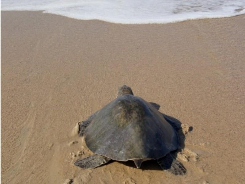 Eliminación de fondos económicos complicará conservación de la tortuga marina