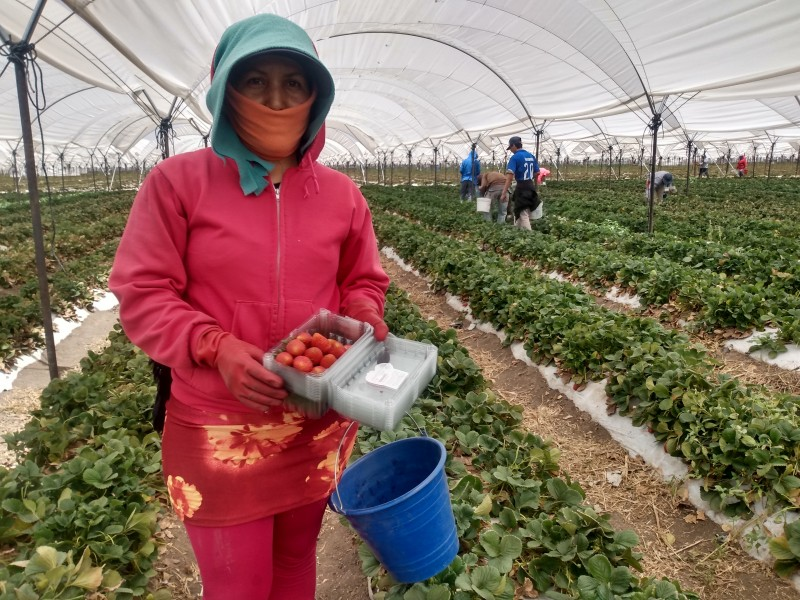 En contingencia, Irapuato sigue siendo la líder en las fresas