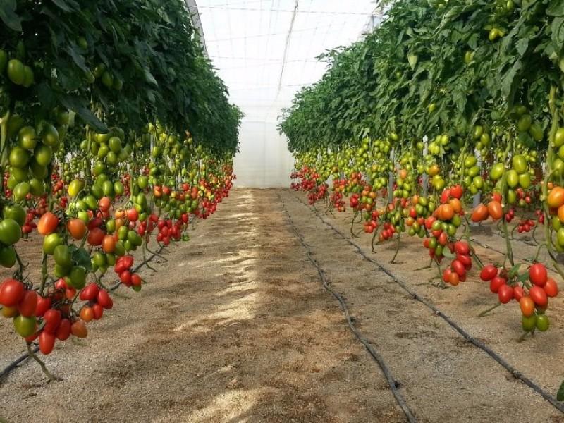 En crisis productores de tomate en Chiapas