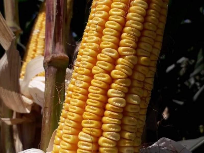 En Guasave se cosecharán un millón de toneladas de maíz