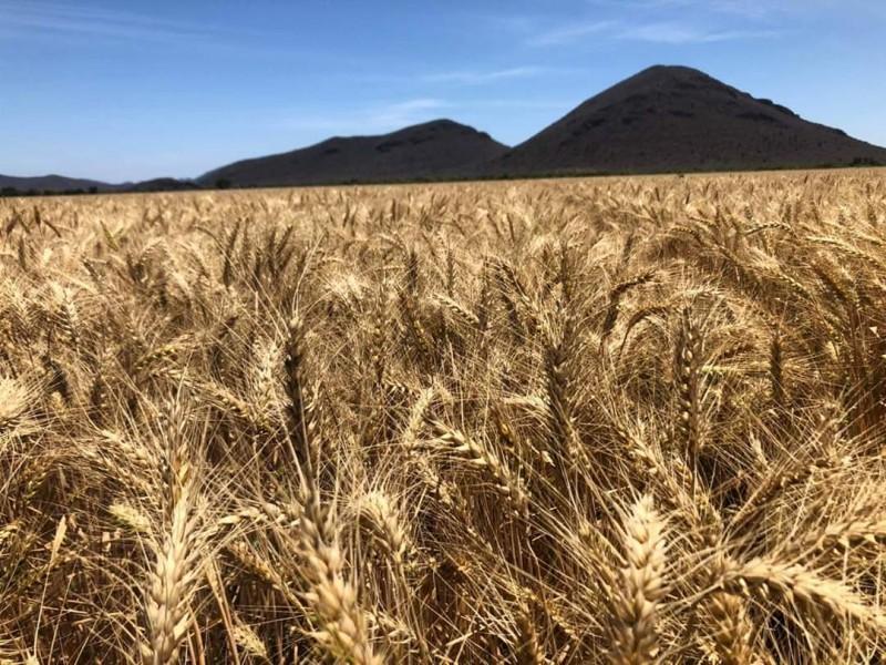En Julio habrá pagos pendientes para productores de trigo