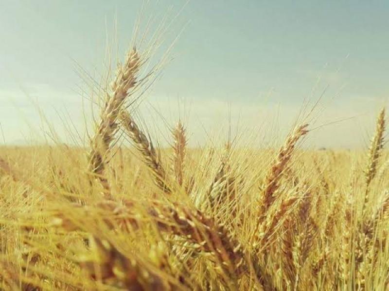 En la próxima semana podrían destrabarse apoyos pendientes del trigo