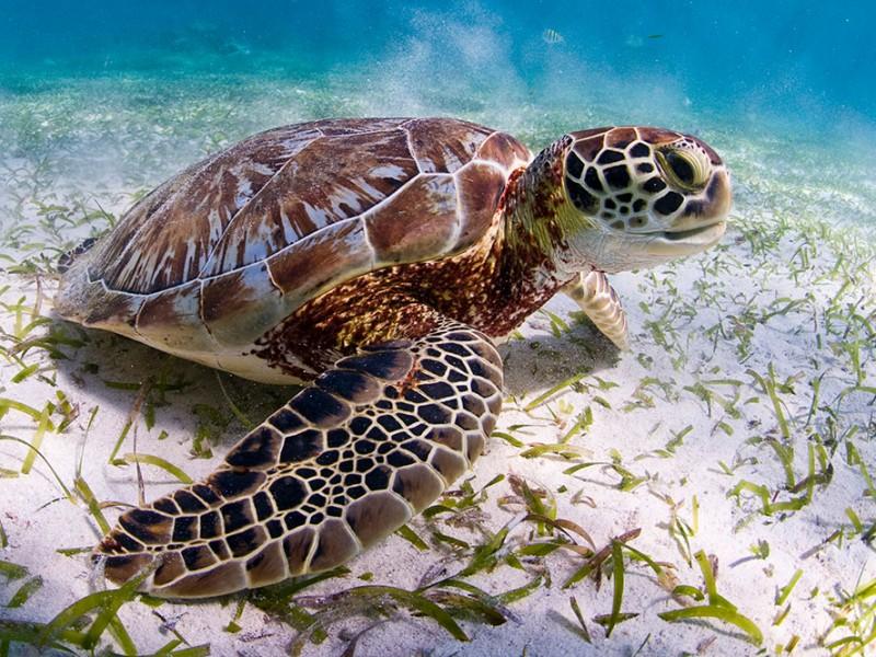 En peligro la tortuga marina en Sonora