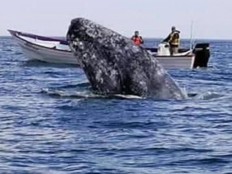 En peligro avistamiento de ballena gris en Mulegé