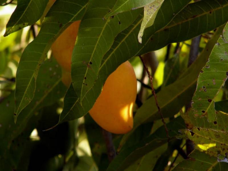 En riesgo producción de mango ataulfo