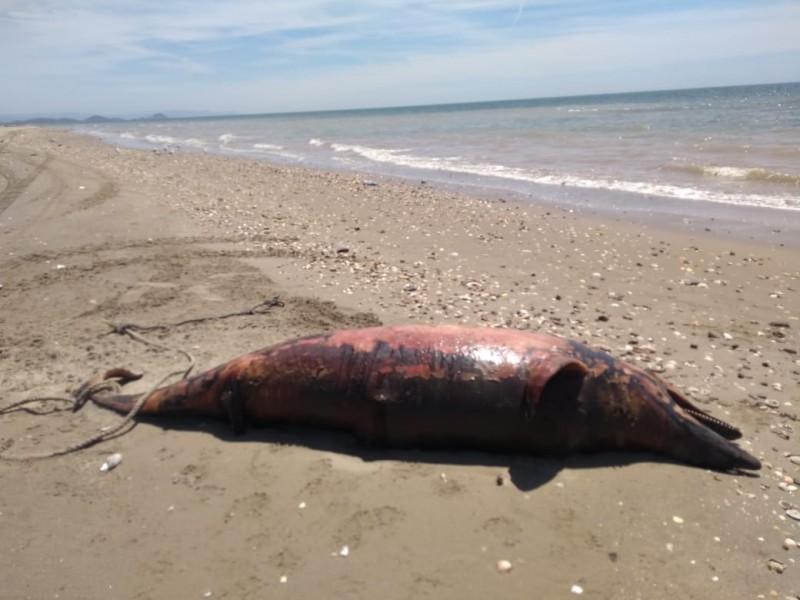 Encuentran a delfín sin vida