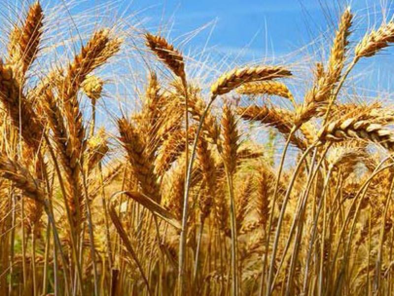 Encuentran bacteria en trigo del Valle del Yaqui