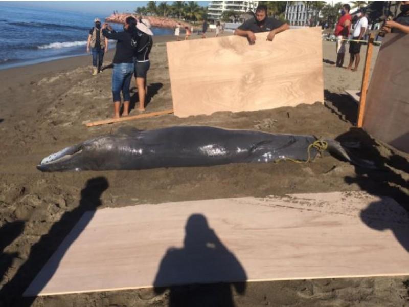 Dos ballenas muertas fueron localizadas en costas de Puerto Vallarta