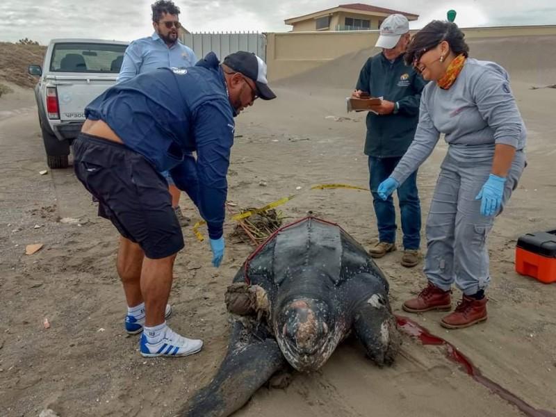 Encuentran tortuga laúd en playa de Alvarado