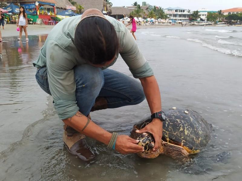 Encuentran tortuga muerta en playas de Villa del Mar.